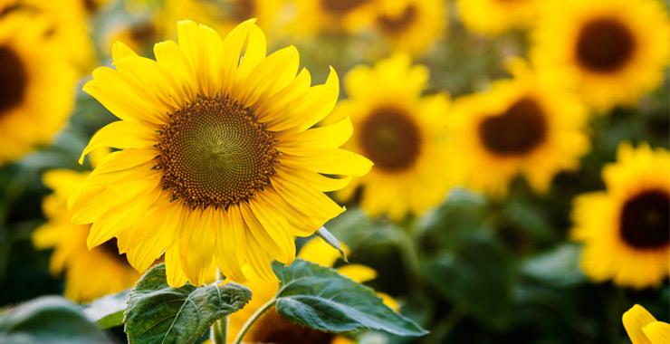 TARSİM'den ayçiçeği ürününe güvence
