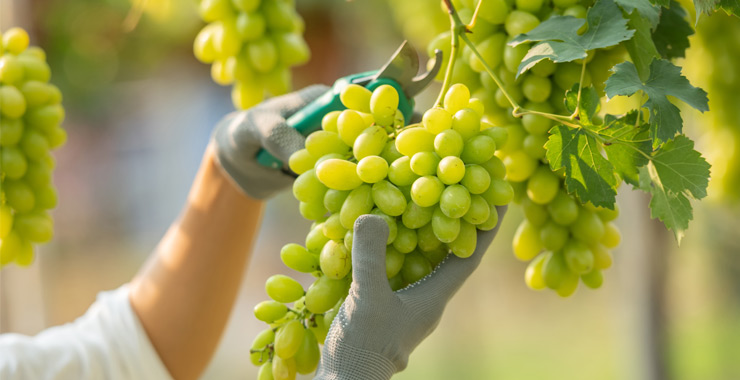 TARSİM'den sigortalı üzüm üreticilerine 550 milyon TL'lik hasar ödemesi